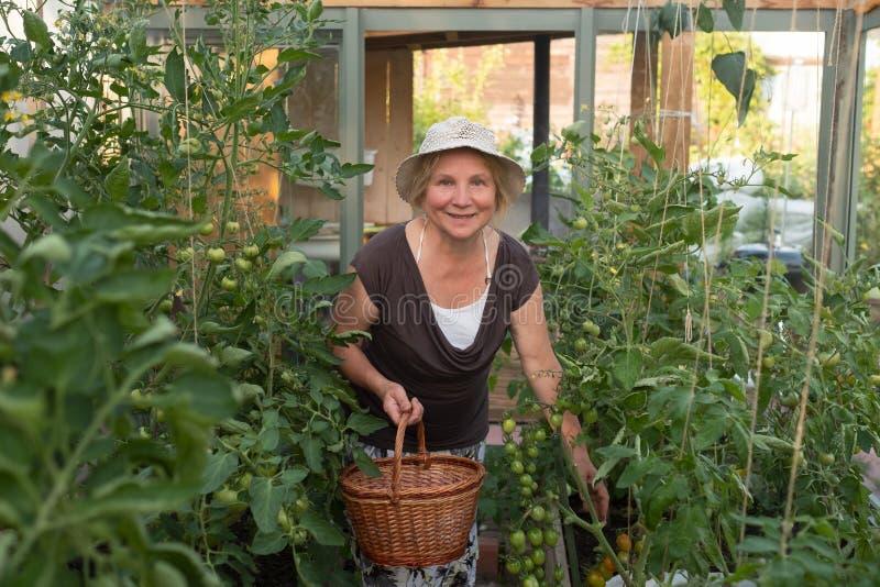 Kaukasische reife Frau mit Korb ihre grünen Tomaten überprüfend stockbild