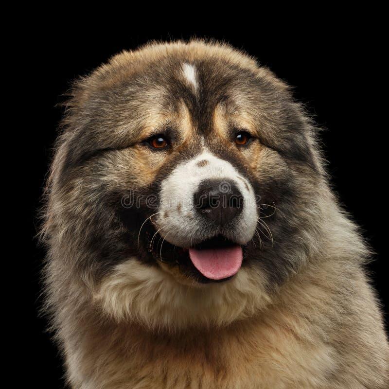 Kaukasische Shepherd Dog geïsoleerd op een zwarte achtergrond stock afbeelding