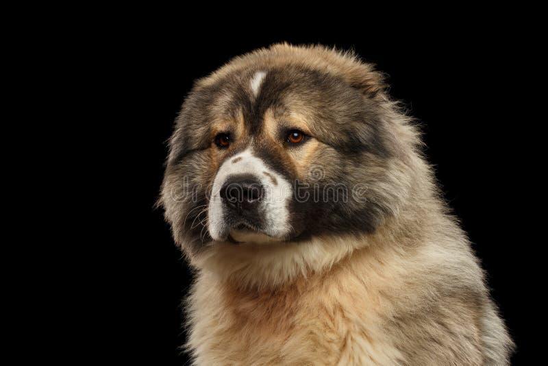 Kaukasische Shepherd Dog geïsoleerd op een zwarte achtergrond royalty-vrije stock afbeelding