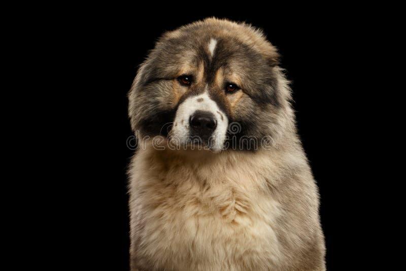 Kaukasische Shepherd Dog geïsoleerd op een zwarte achtergrond royalty-vrije stock fotografie