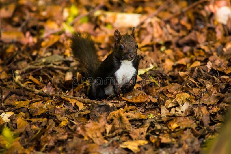 Kaukasisches oder persisches Eichhörnchen (Sciurus anomalus) sitzend im Laub auf seinen Hinterbeinen lizenzfreie stockbilder
