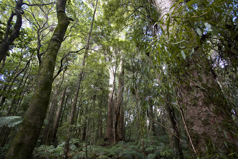 Kauri Forrest stock photography