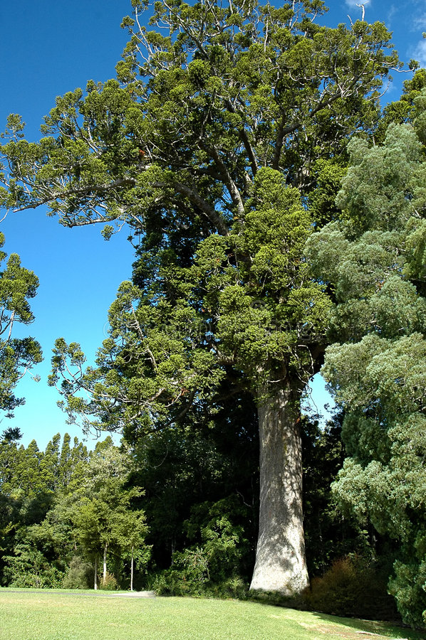 Kauri Tree stock images
