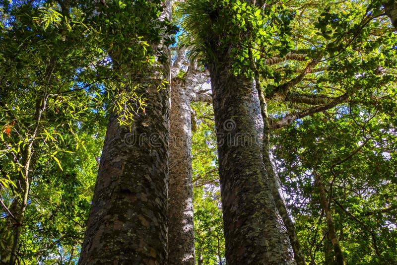Kauriboom in een bos in Nieuw Zeeland royalty-vrije stock foto