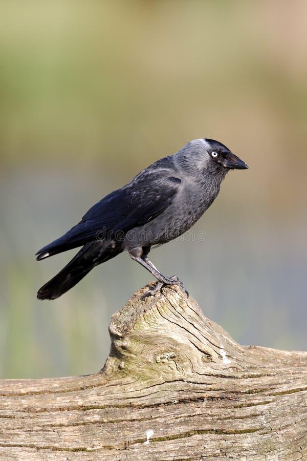 Kauw, Corvus-monedula royalty-vrije stock fotografie