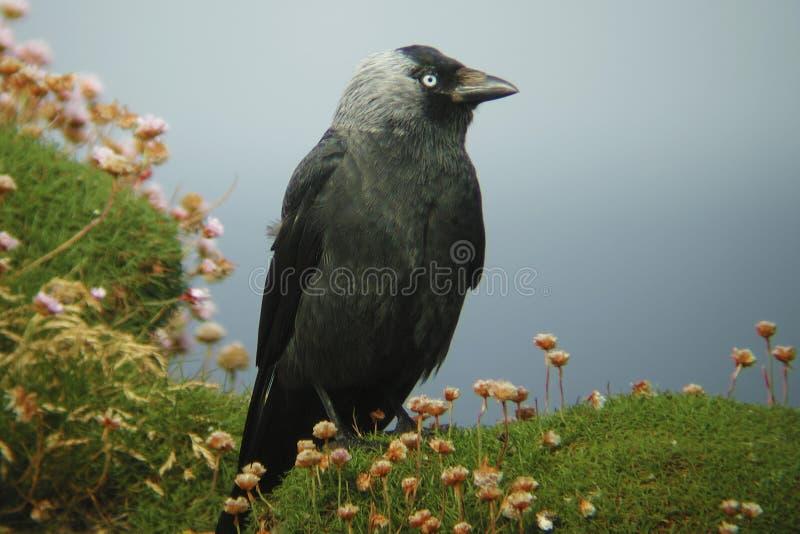 Kauw, Corvus-monedula, status stock foto's
