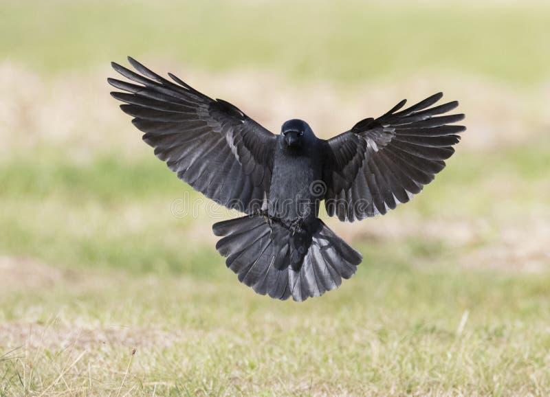 Kauw, Westelijke Kauw, Corvus-monedula stock fotografie