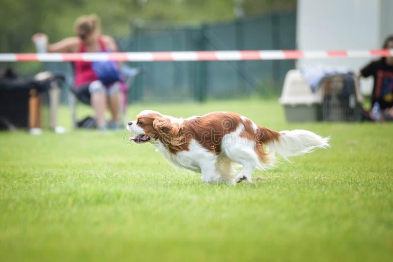 Kavalier Hundekönigs Charles läuft auf Beweglichkeitswettbewerb stockbild
