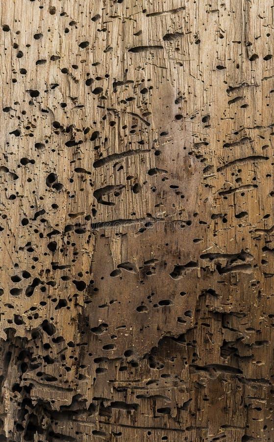 Kawałek atakujący dżdżownicami drewno zdjęcie stock