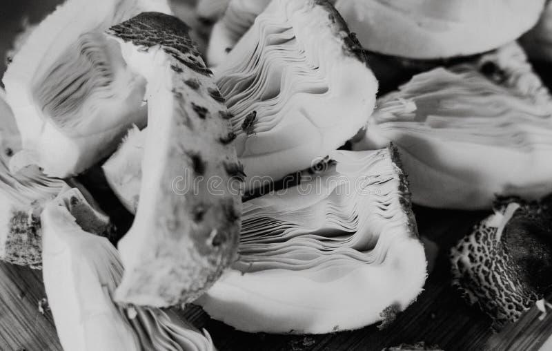 Kawałki parasol pieczarki Macrolepiota procera, przygotowywający suszyć o obraz stock