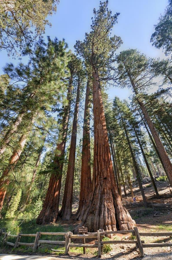 Kawaler i Trzy graci, Mariposa gaj, Yosemite fotografia royalty free