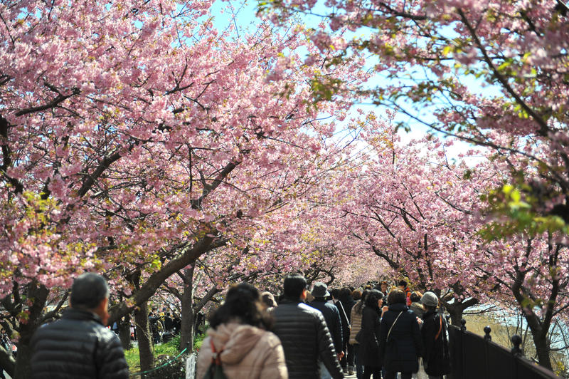 Kawazu Sakura Festival lizenzfreie stockfotos