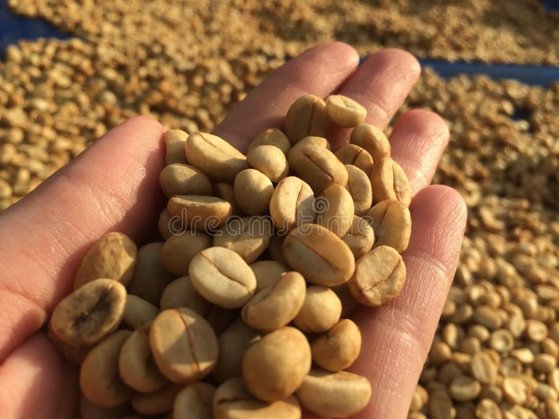 Kawowa fasola, roślinność, fasola, rośliny, kawa zdjęcie stock