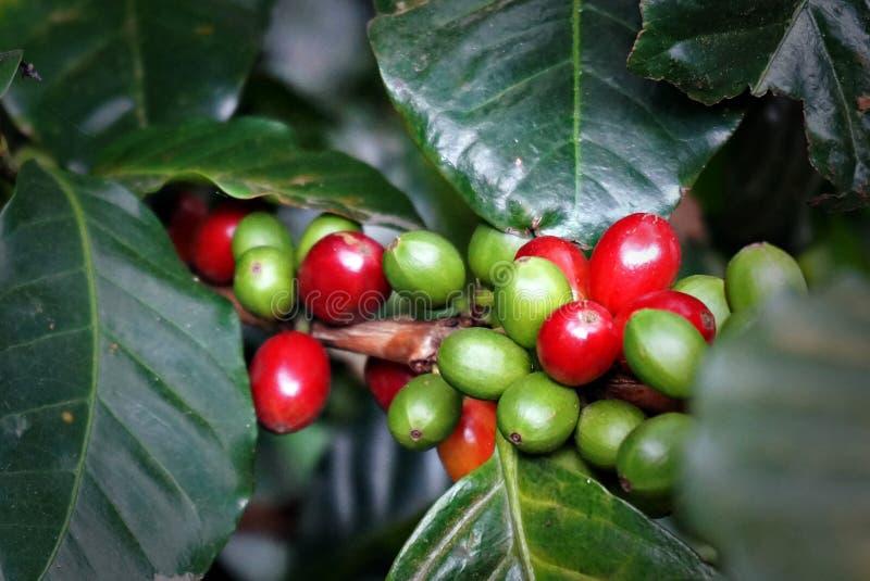 Kawowa plantacja zdjęcie stock
