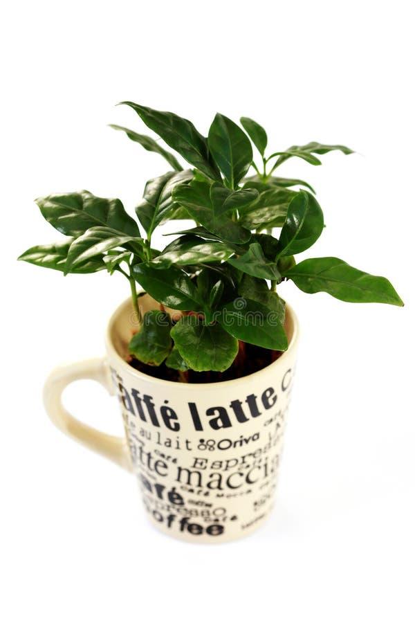 kawowa roślina obraz royalty free