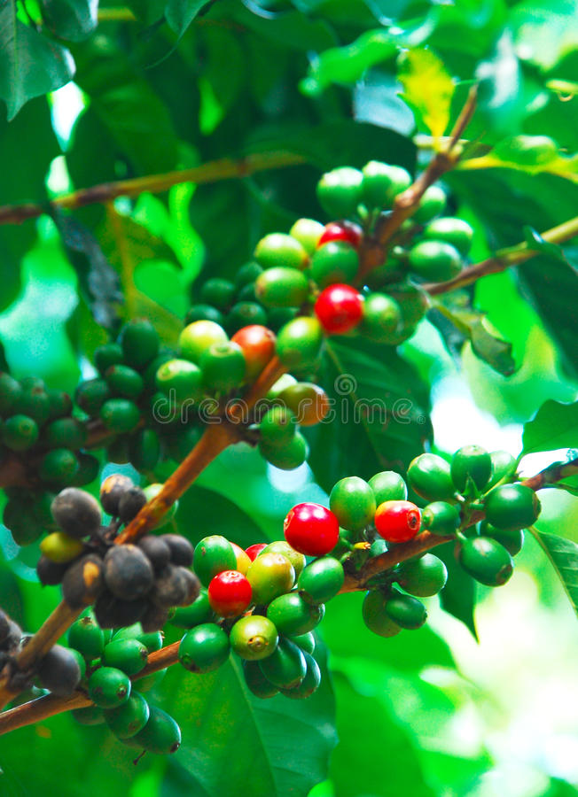 Kawowa roślina zdjęcie royalty free