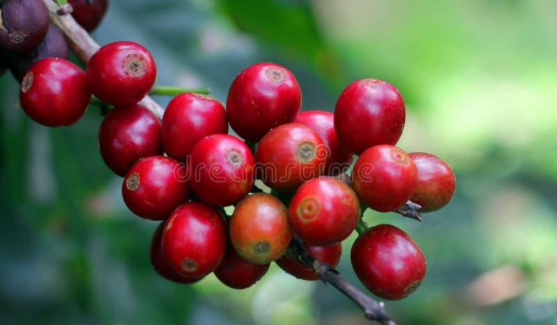 Kawowe fasole, Boquete, Chiriqui, Panama zdjęcie stock