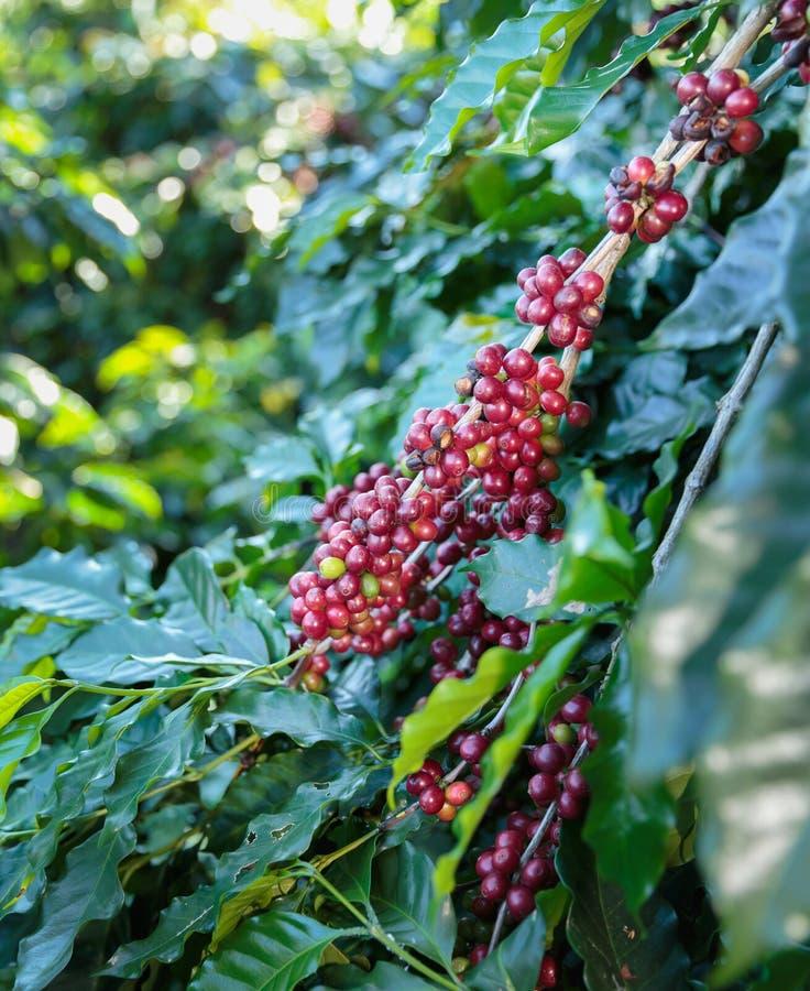 Kawowe fasole dojrzewa na drzewie zdjęcie royalty free