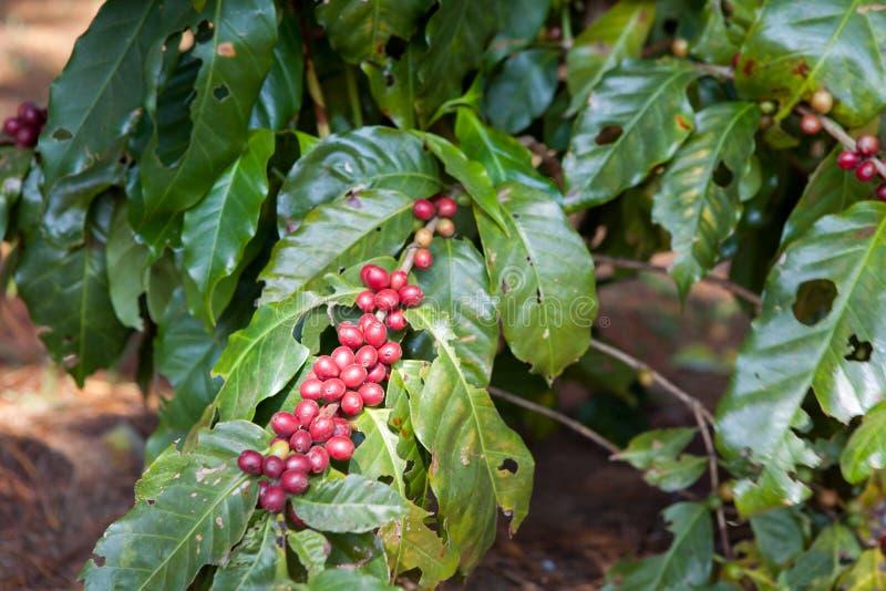 Download Kawowe Fasole Dojrzewa Na Drzewie W Północy Thailand Obraz Stock - Obraz złożonej z kofeina, ekologia: 53785835