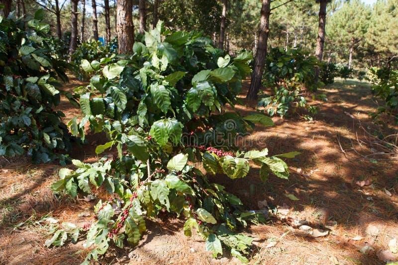 Download Kawowe fasole na drzewach zdjęcie stock. Obraz złożonej z fasole - 53785694