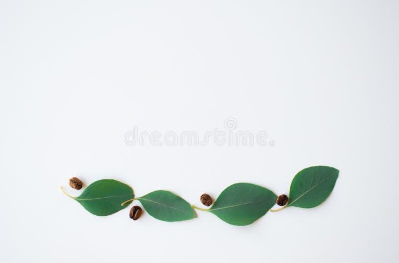 Kawowe fasole wśród eukaliptusowych keaves fotografia stock
