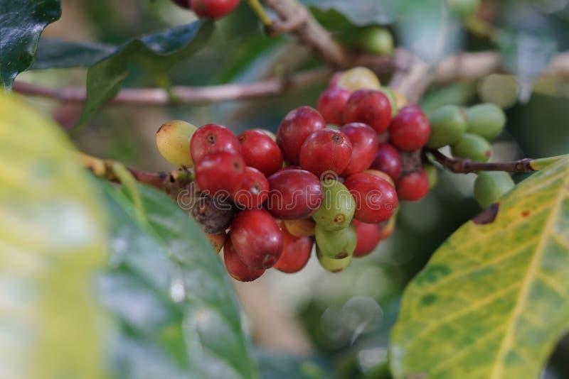 Kawowe jagody bobowe na kawowym drzewie obrazy royalty free