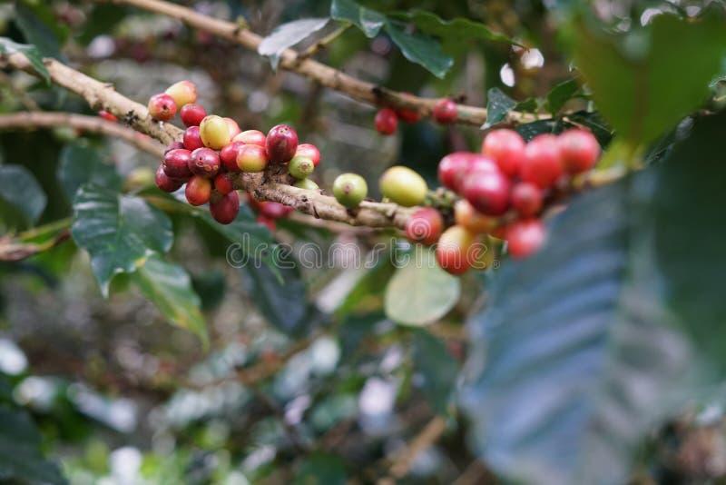 Kawowe jagody bobowe na kawowym drzewie zdjęcie stock