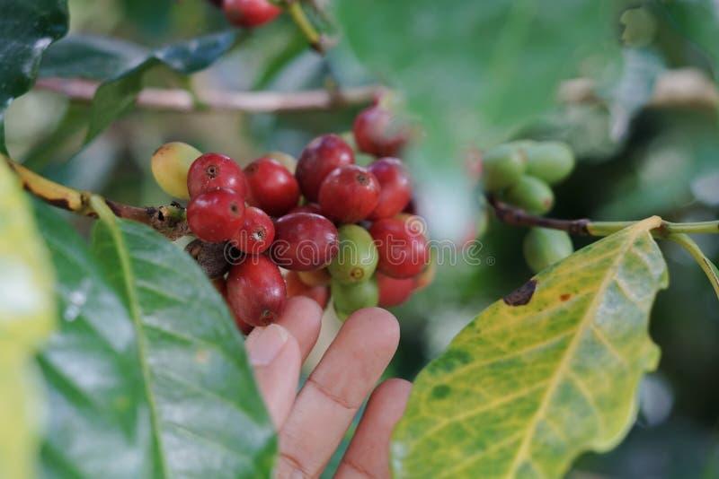 Kawowe jagody bobowe na kawowym drzewie z ręką obrazy stock