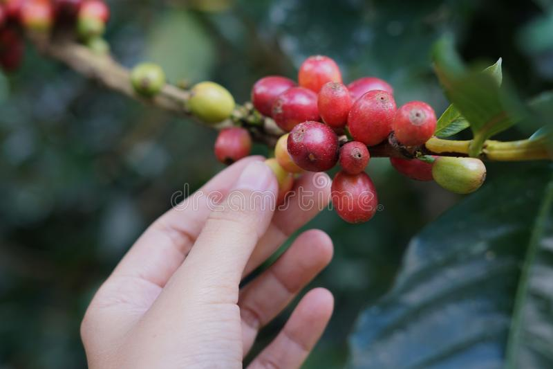 Kawowe jagody bobowe na kawowym drzewie z ręką obrazy royalty free