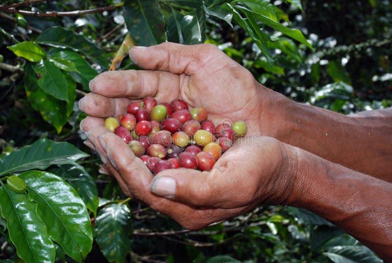 kawowe kolumbijskie rolne ręki zdjęcie royalty free
