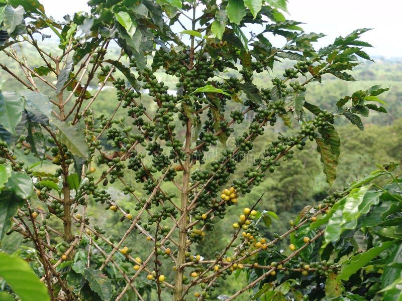 Kawowy drzewo zdjęcia royalty free