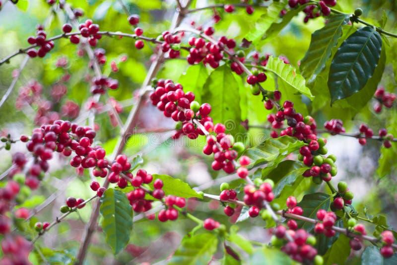 Kawowy drzewo i ziarno zdjęcie stock