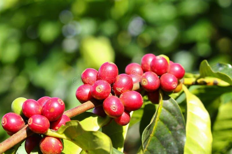Kawowy drzewo z dojrzałymi jagodami na gospodarstwie rolnym obrazy royalty free