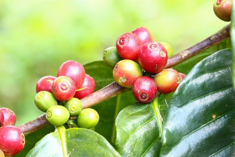 Kawowy drzewo z dojrzałymi jagodami na gospodarstwie rolnym fotografia royalty free