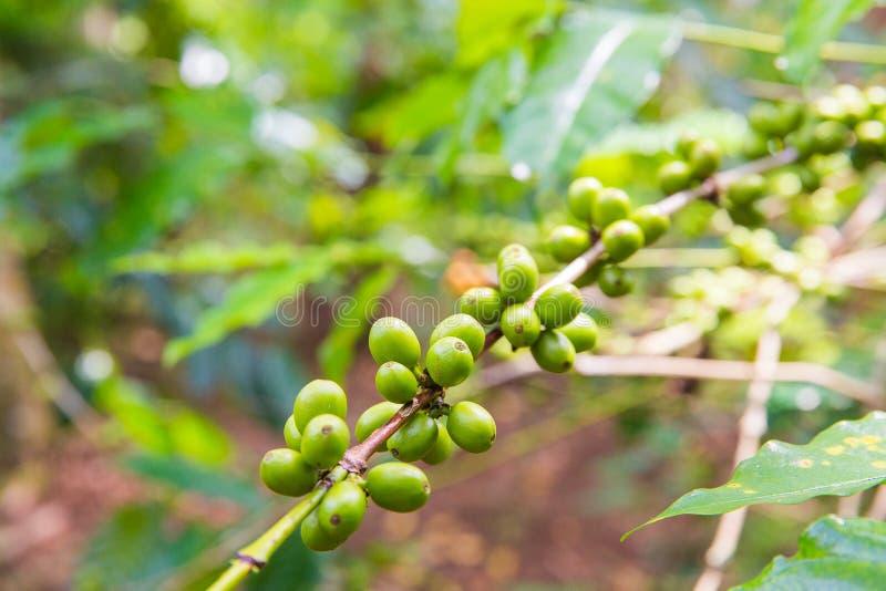 Kawowy drzewo z dojrzałymi jagodami na gospodarstwie rolnym, Bali wyspa obrazy royalty free