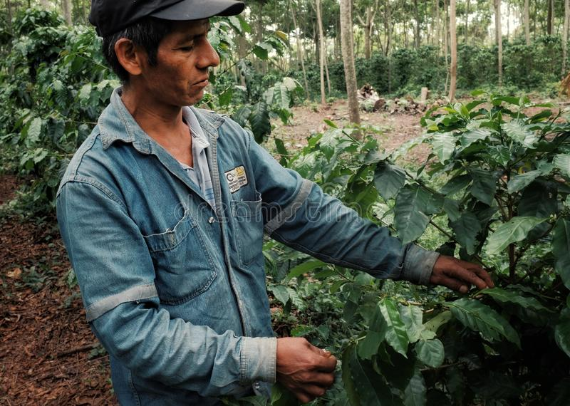 kawowy rolnik sprawdza robusta rośliny przy jego plantacją zdjęcia stock