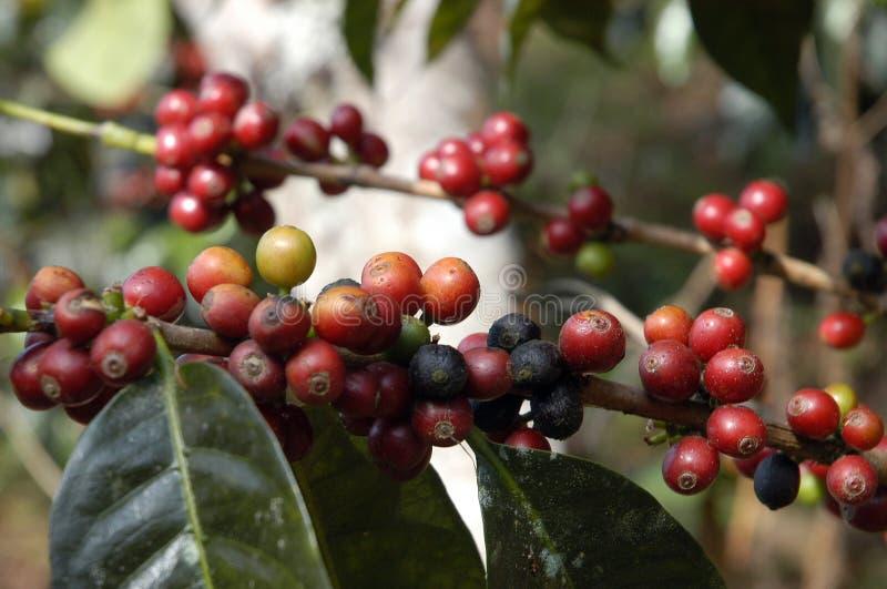 kawy 17 Guatemala drzewo fotografia stock