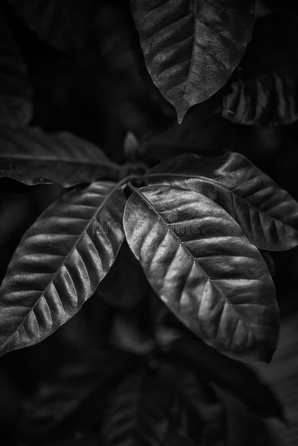 Kawy zieleni liście, roślina, ogród botaniczny obraz stock