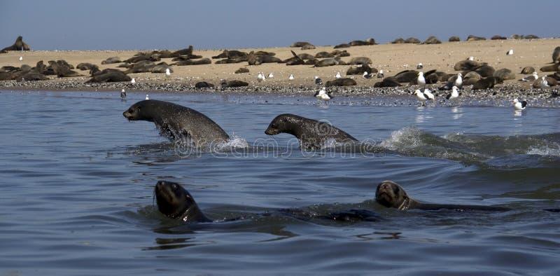 Kayaking em torno do ponto do pelicano imagens de stock