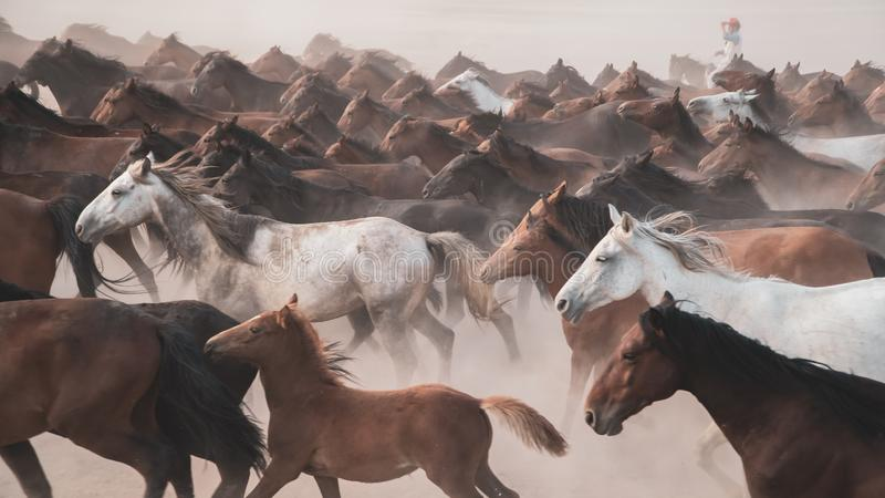 Horses running and kicking up dust. Yilki horses in Kayseri Turkey are wild horses with no owners royalty free stock photos