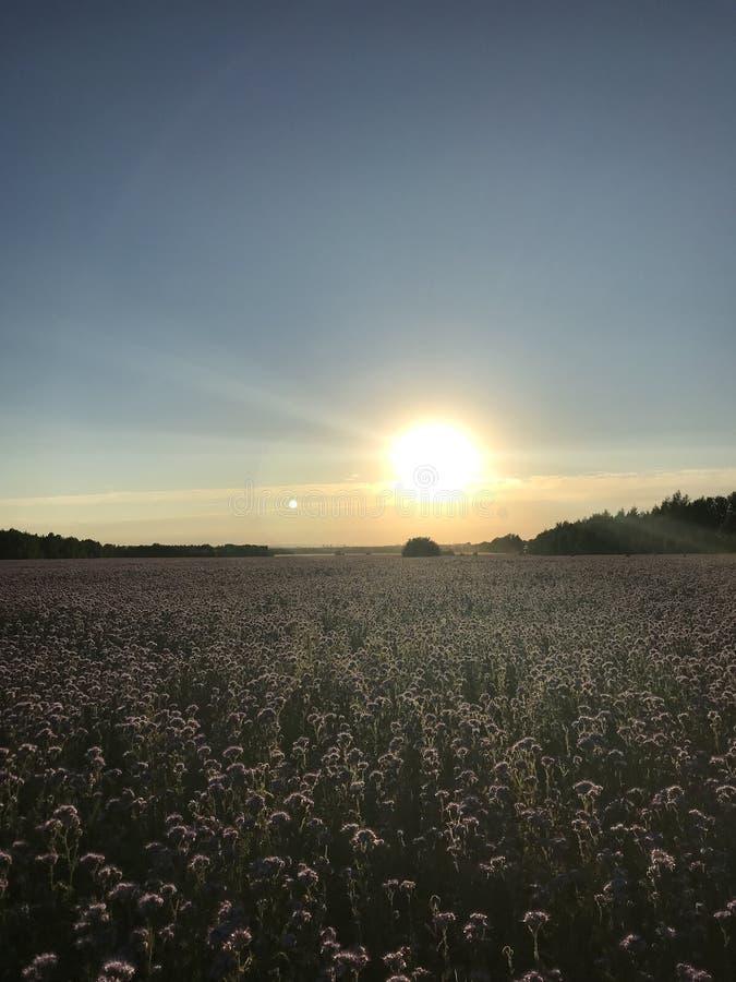 Kazán, Tartaristán, Rusia, campo, flores, phacelia stock de ilustración