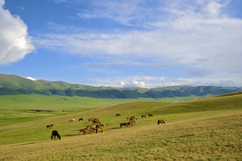 Kazakh horse royalty free stock photography