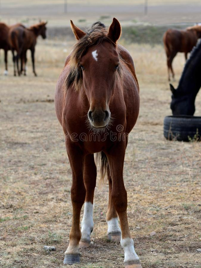 Kazakh steppe horse portrait. Maroon horse front portrait in full height royalty free stock images