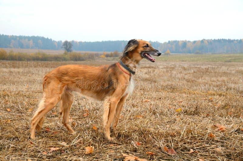 Kazakhvinthund royaltyfri fotografi