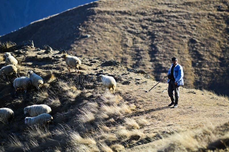 Kazbegi, la Géorgie, le 20 novembre 2014 : Berger frôlant des moutons dans p photographie stock