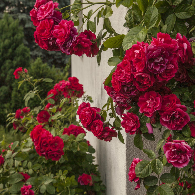 Kazimierz Dolny, Poland - red roses. royalty free stock image