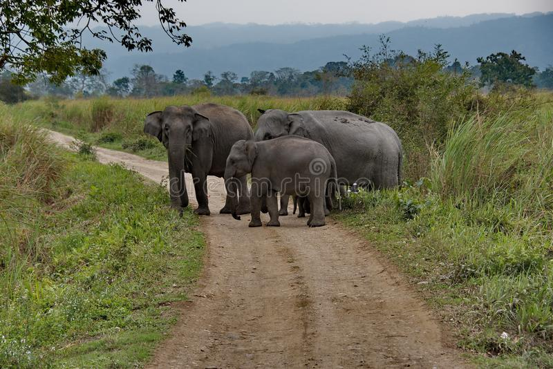 Inhabitants of Kaziranga National Park. Elephant. Kaziranga national Park is located in East India Assam state, in the Brahmaputra river valley. The Park was royalty free stock image