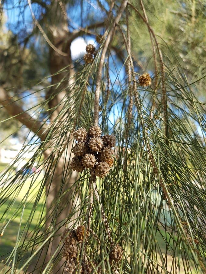 Kazuaryny roślina obraz royalty free