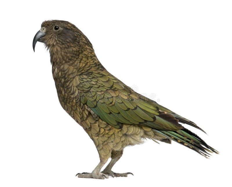 kea内斯特notabilis鹦鹉 免版税库存图片