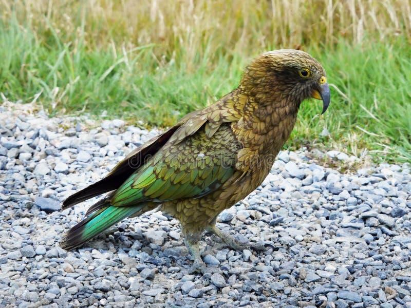 Kea鹦鹉鸟 库存图片